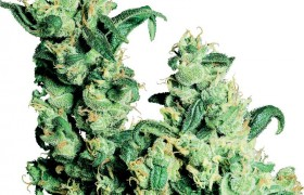 Graine de Jack Herer®